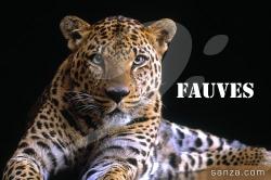 Fauves (Tigre, Guépard, Panthère...)